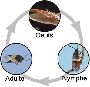 Insectes à métamorphose incomplète. Oeufs, nymphe et adulte.