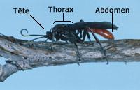 Morphologie de l'insecte chez l'adulte. Tête, thorax, abdomen.