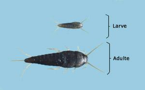 Insectes sans métamorphose (amétablole). Larve et adulte.