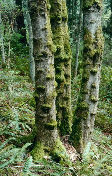 Érable à grandes feuilles