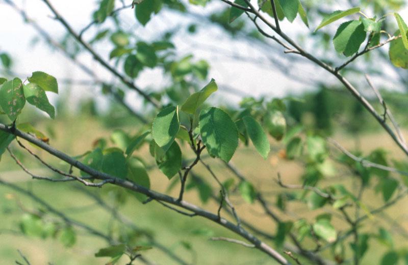 Amélanchier arborescent