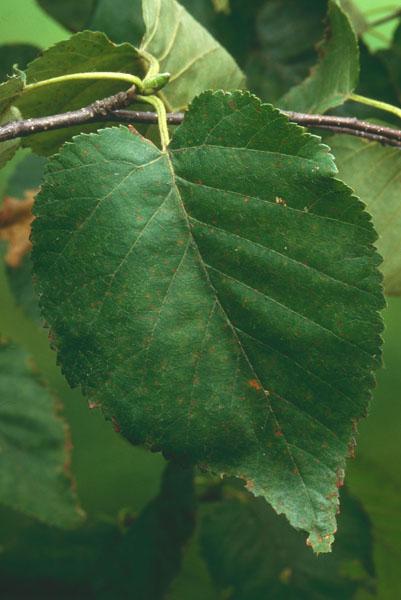 Bouleau à feuilles cordées
