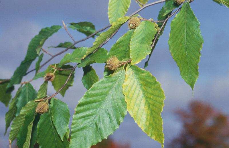 Hêtre à grandes feuilles