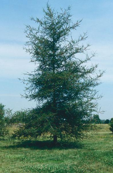Mélèze laricin
