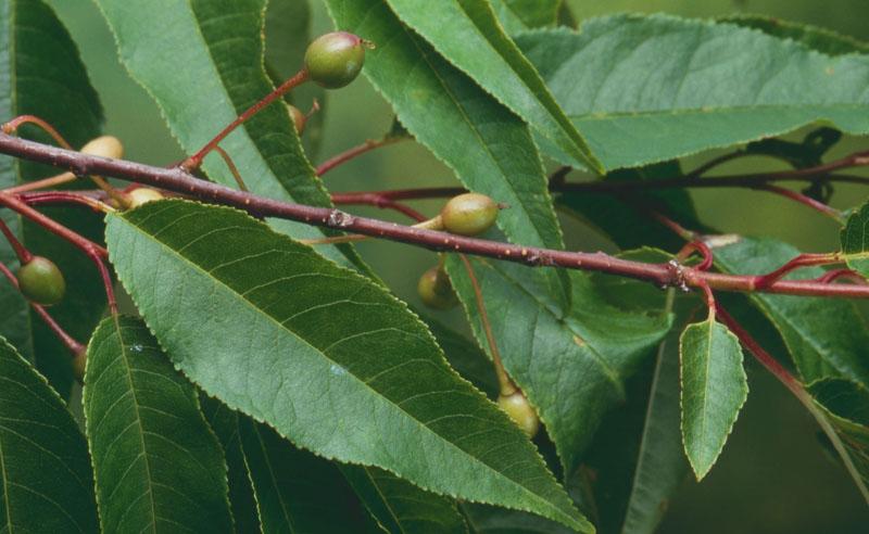 Cerisier de Pennsylvanie