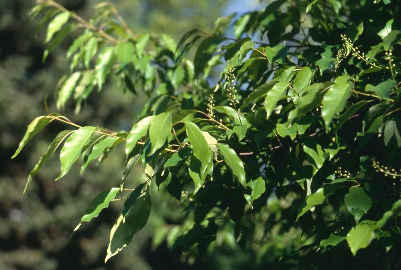 Cerisier tardif