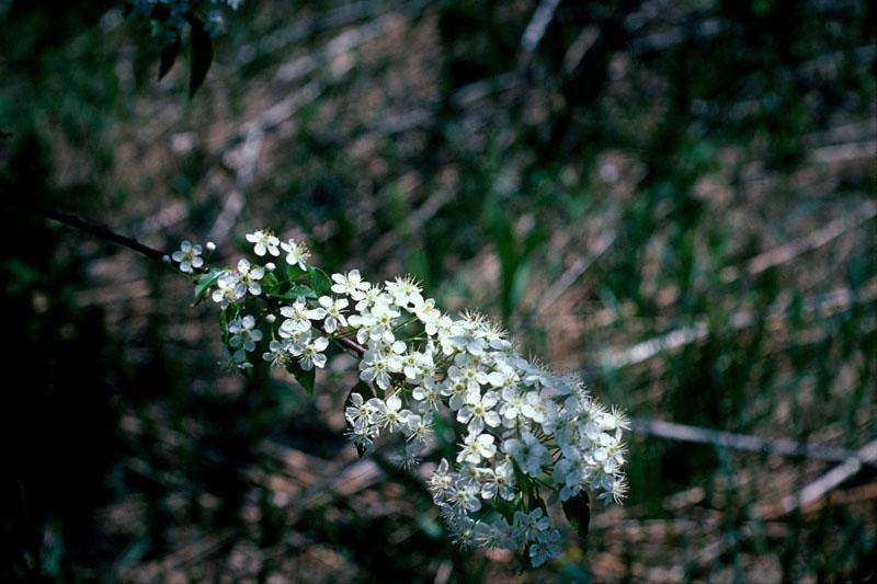Cerisier de Virginie