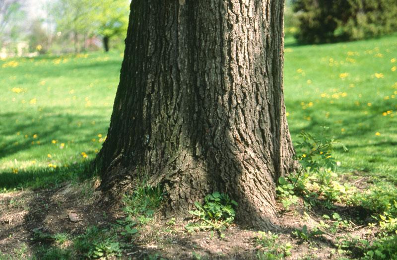 Chêne bicolore