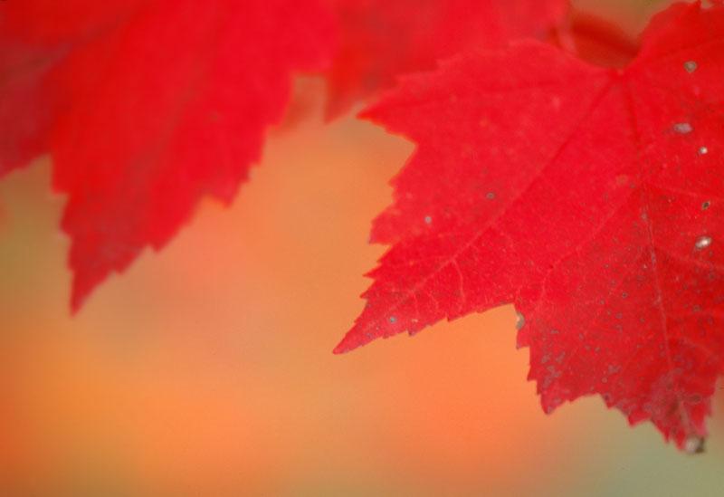 Érable rouge