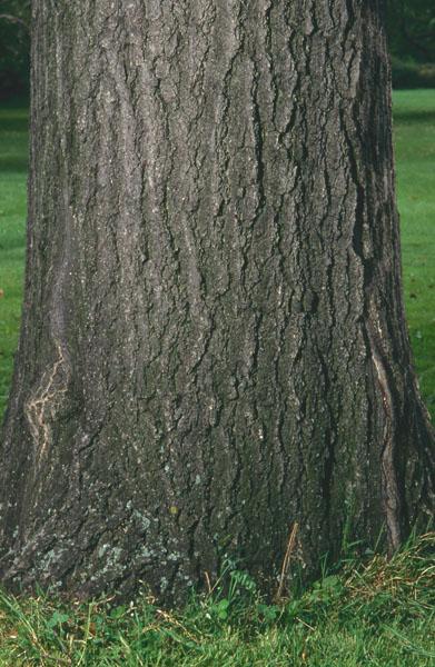 Chêne rouge