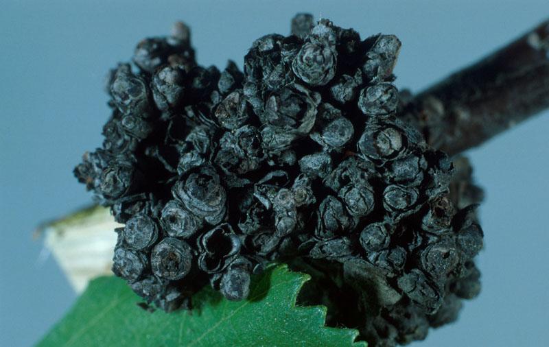 Phytopte des bourgeons du bouleau