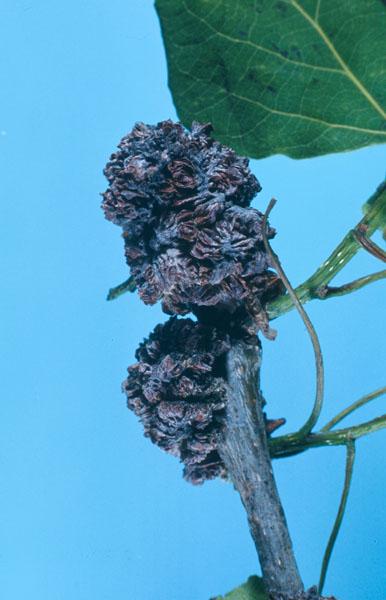 Phytopte des bourgeons du peuplier - Dommage
