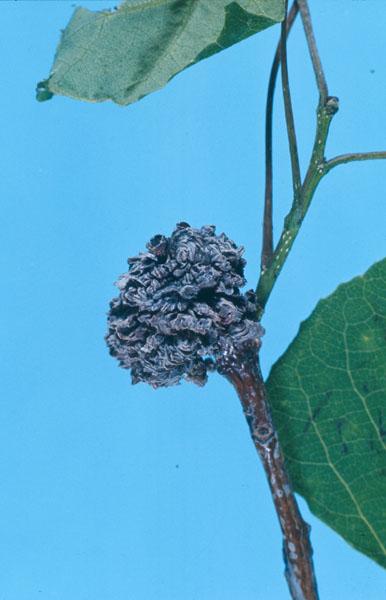 Phytopte des bourgeons du peuplier