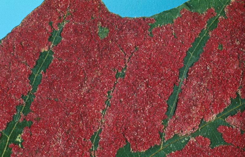 Phytopte veloutant de l'érable