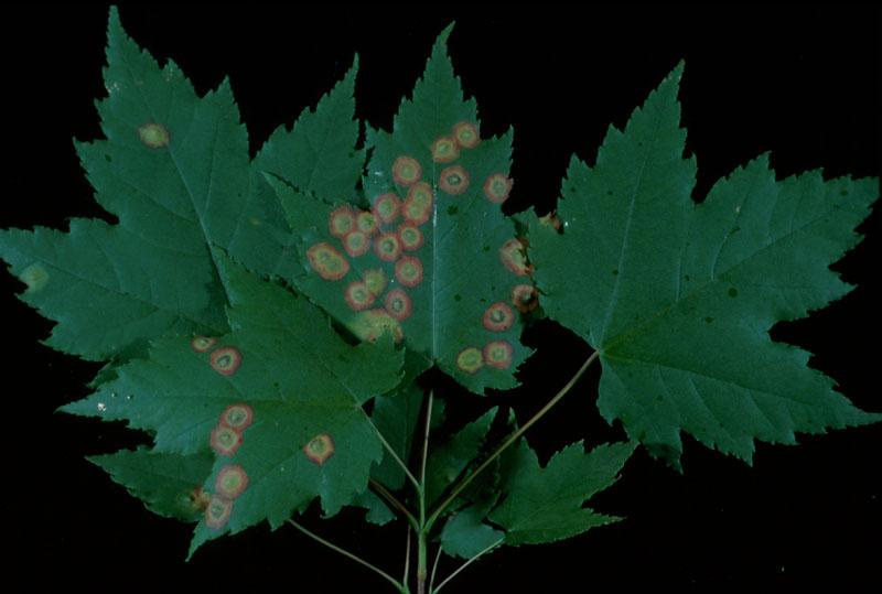Cécidomyie ocelligène - Feuilles d'érable attaquées par cet insecte