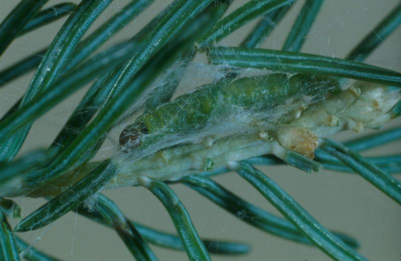 Tordeuse à tête noire de l'épinette - Chenille mature dans son abri de soie sur le feuillage