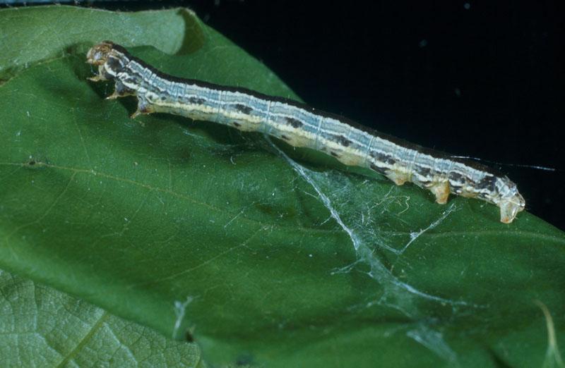 Arpenteuse d'automne - Vue latérale d'une chenille foncée montrant plus clairement la troisième paire de fausses pattes
