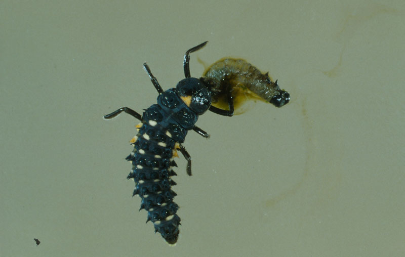 Coccinelle ocellée - Larve d'Anatis mali dévorant une larve d'une autre espèce