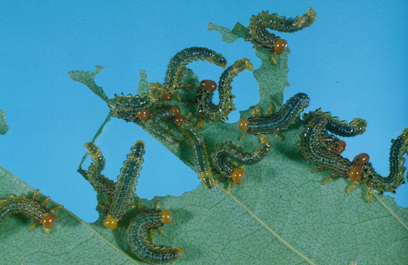Tenthrède du bouleau - Colonie de jeunes larves sur une feuille de bouleau blanc
