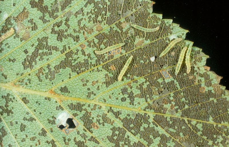 Squeletteuse du bouleau - Jeunes chenilles et leurs dégâts sur une feuille de bouleau à papier