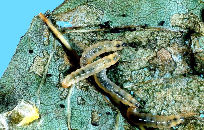 Fausse-teigne du lilas - Larve