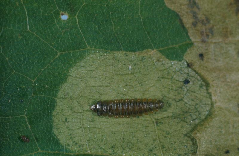 Mineuse de l'érable - Vue dorsale d'une chenille dans sa mine