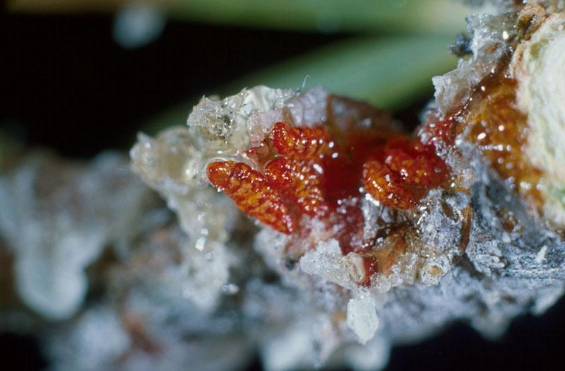 Cécidomyie résineuse du pin gris - Larves soutirées de la masse de résine (longueur, environ 4 mm)