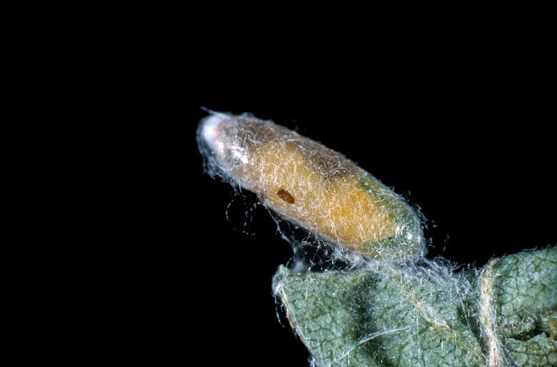 Météore de la tordeuse des bourgeons de l'épinette (nom proposé)