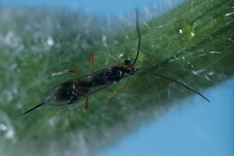 Météore de la tordeuse des bourgeons de l'épinette (nom proposé) - Vue dorsale de la femelle