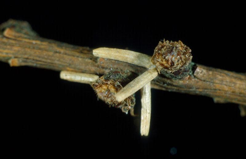 Porte-case du mélèze - Cases attachées aux rameaux après la chute des feuilles à l'automne
