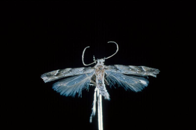 Mineuse rougeâtre du thuya - Adulte (envergure des ailes, environ 8 mm)
