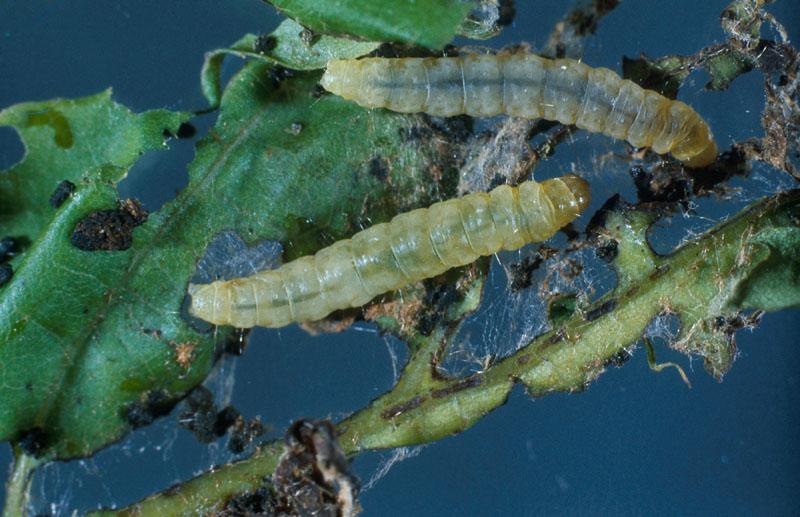 Tordeuse printanière du chêne - Vue dorsale de la larve