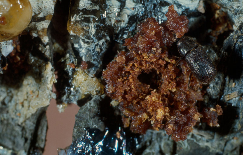 Dendroctone de l'épinette