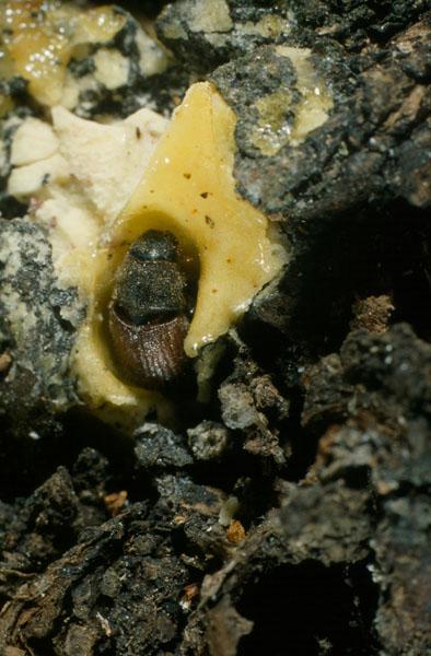 Dendroctone de l'épinette - Adulte sur la résine à la sortie de sa galerie