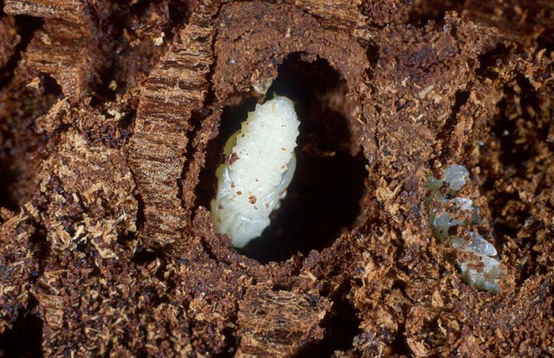 Dendroctone du mélèze - Nymphe dans sa case