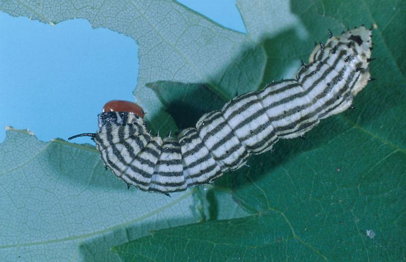 Anisote de l'érable - Vue dorsale d'une chenille âgée (longueur, 40 à 50 mm)