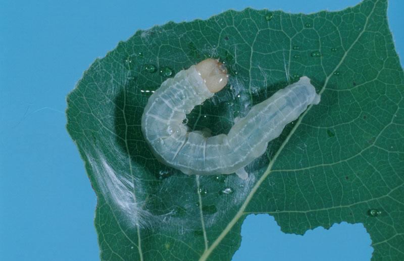 Noctuelle décolorée - Chenille âgée (longueur, 25 à 33 mm)