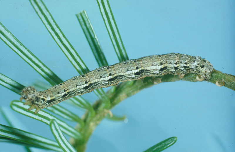 Arpenteuse de la pruche - Chenille mature sur un rameau de sapin (longueur : 32 mm)