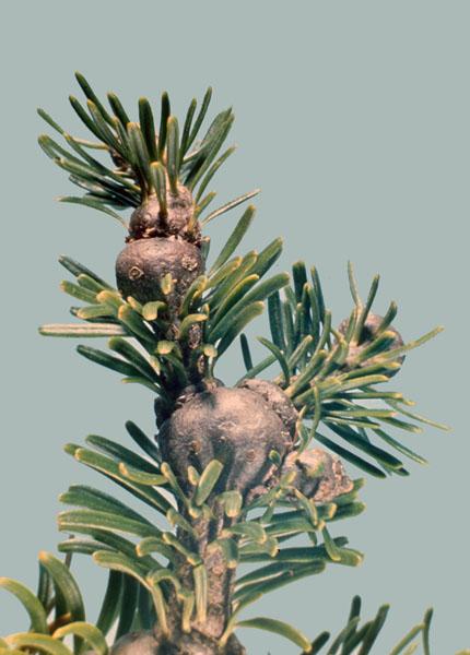 Puceron lanigère du sapin - Renflement caractéristique de rameaux hébergeant des pucerons après une attaque récente de la cime