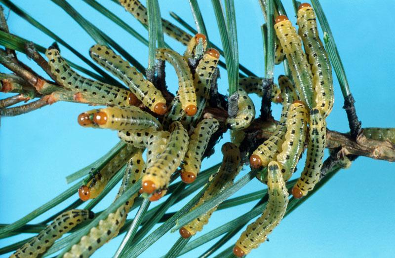 Diprion de LeConte - Colonie de larves sur une pousse de pin sylvestre