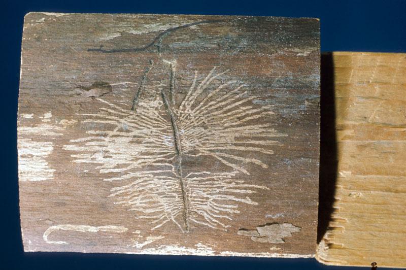 Scolyte de l'orme - Galerie maternelle et galeries larvaires sur un tronc d'orme