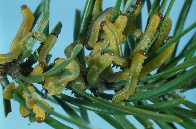 Diprion de Swaine - Colonie de jeunes larves sur une pousse de pin gris