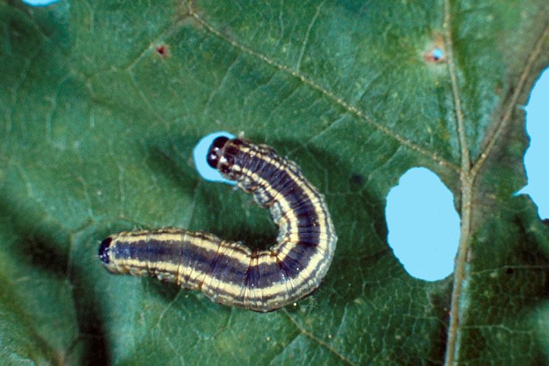 Arpenteuse de Bruce - Vue dorsale d'une chenille foncée en train de s'alimenter