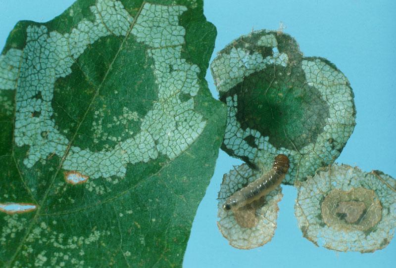 Coupe-feuille de l'érable - Surface de feuillage vert au centre de l'anneau de défoliation apparaissant après le déplacement de l'habitaculum et de la série de disques composant l'habitaculum