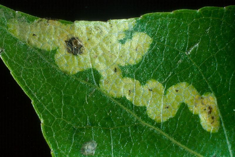 Agromyze pâle du peuplier - Trajet parcouru par une larve dans une feuille de peuplier (mine)