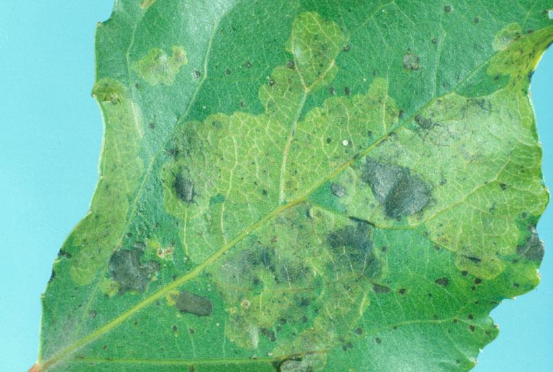 Agromyze pâle du peuplier