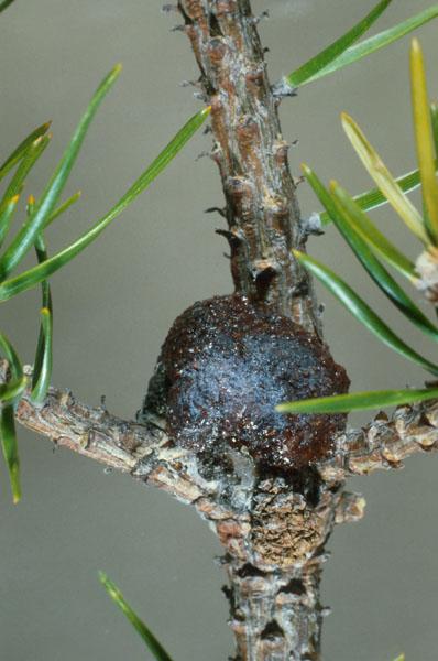 Nodulier du pin gris