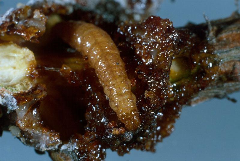 Nodulier du pin gris - Nodule ouvert pour montrer la larve mature (longueur, 15 mm)