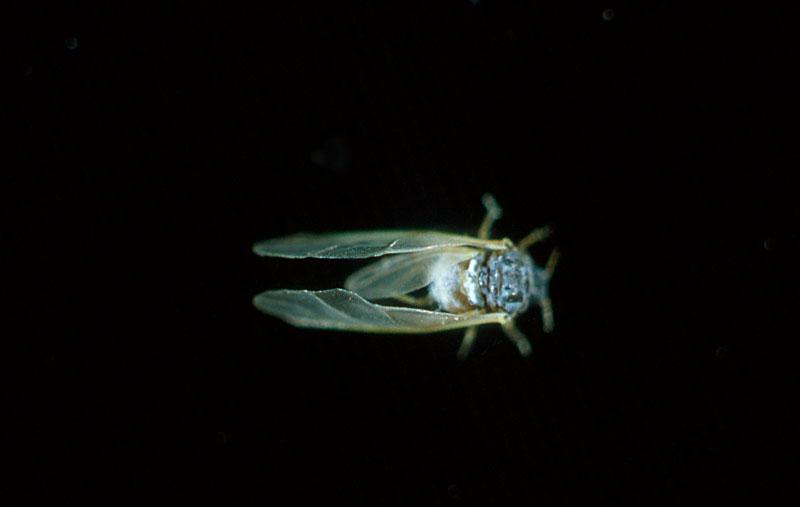 Puceron des aiguilles du pin - Vue dorsale de l'adulte du Puceron des aiguilles du pin
