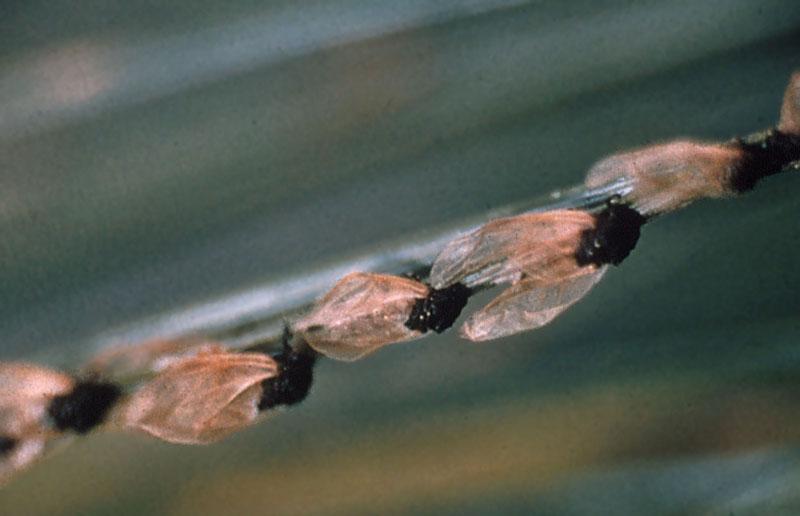 Puceron des aiguilles du pin